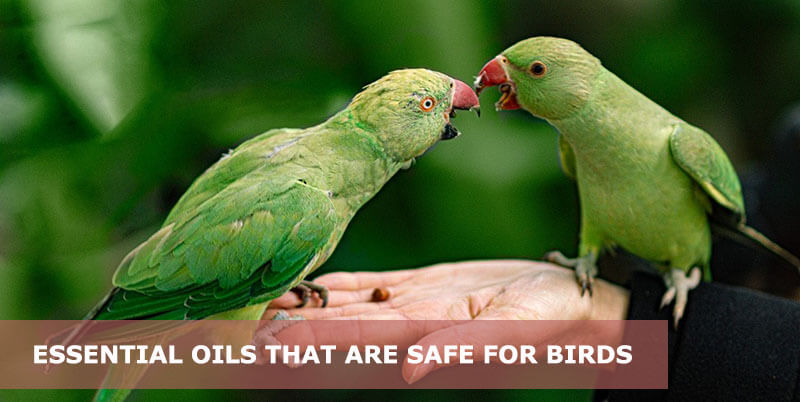best essential oils that are safe for birds